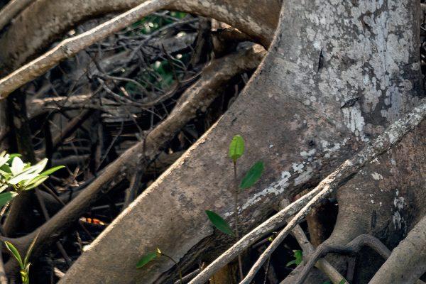 Dossier pédagogique [ECO]systèmes&co : les mangroves
